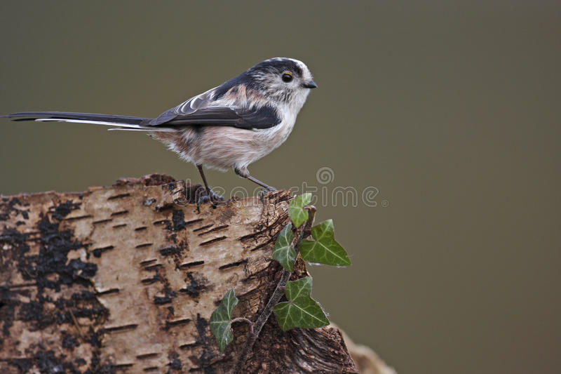 Long Tailed Tit stock image