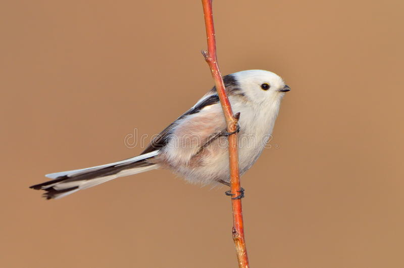 Download Long tailed tit stock image. Image of tail, white, habitat - 24027059