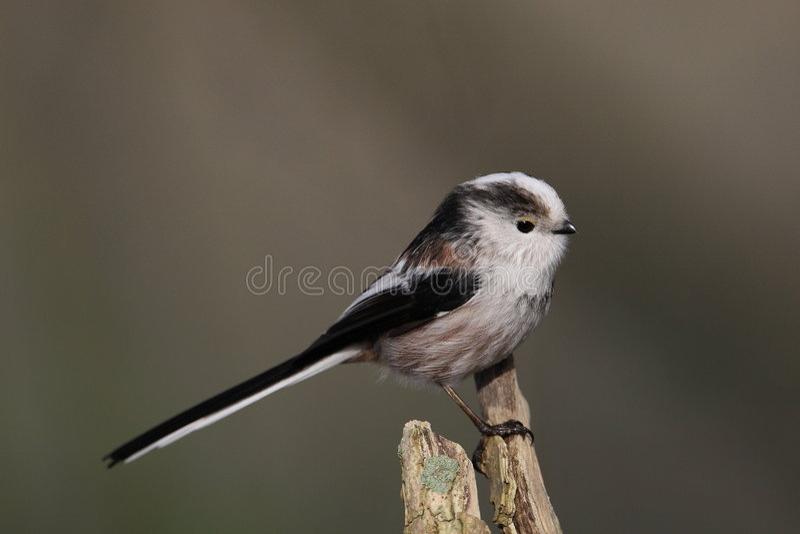 Long-tailed Tit lizenzfreie stockfotografie