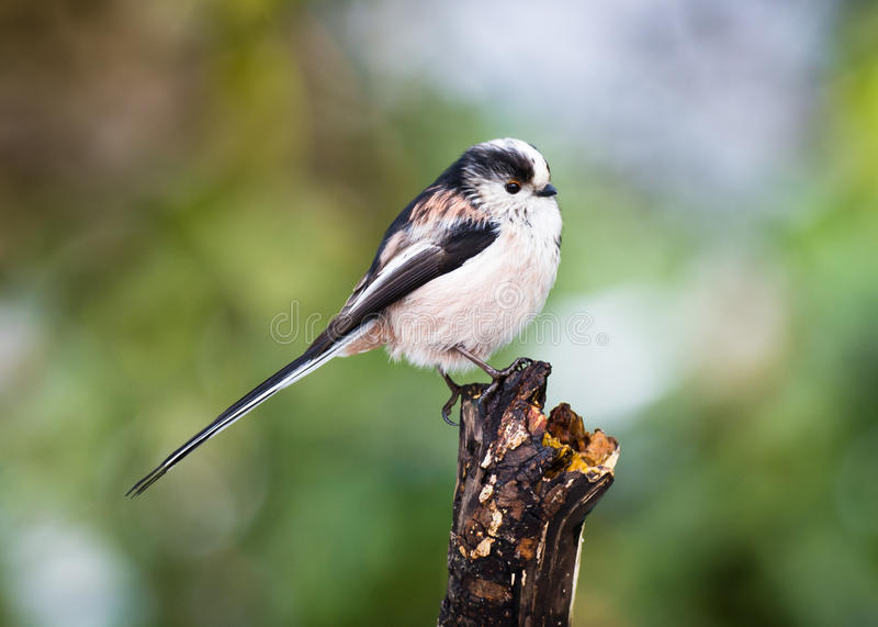 Long-tailed Tit (Aegithalos caudatus) stock photography