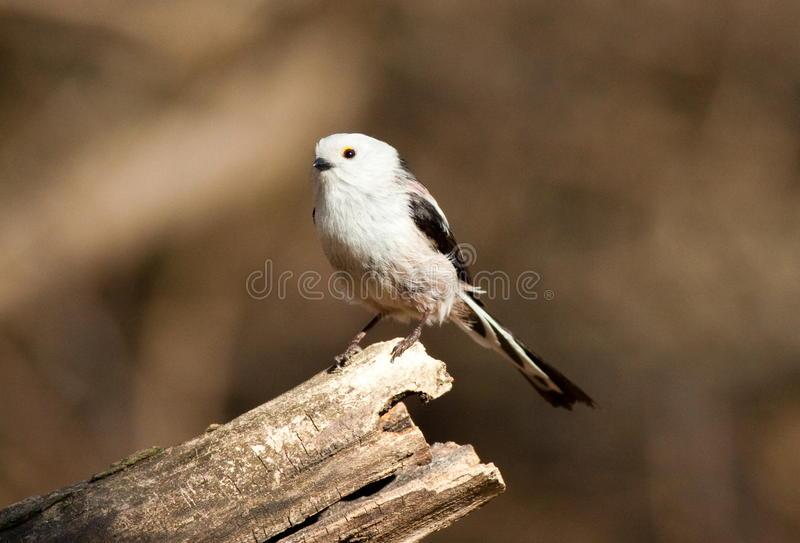Download Long Tailed Tit (Aegithalos Caudatus) Stock Photo - Image: 23904116