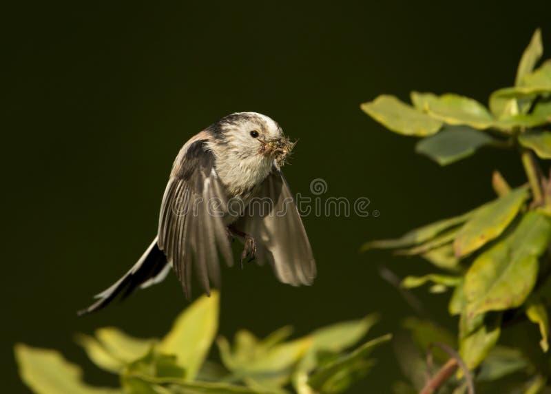 Long-tailed tit Aegithalos caudatus in flight stock images