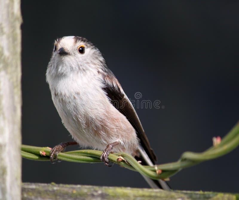 Download Long-tailed Tit Aegithalos Caudatus Stock Photo - Image: 30359578
