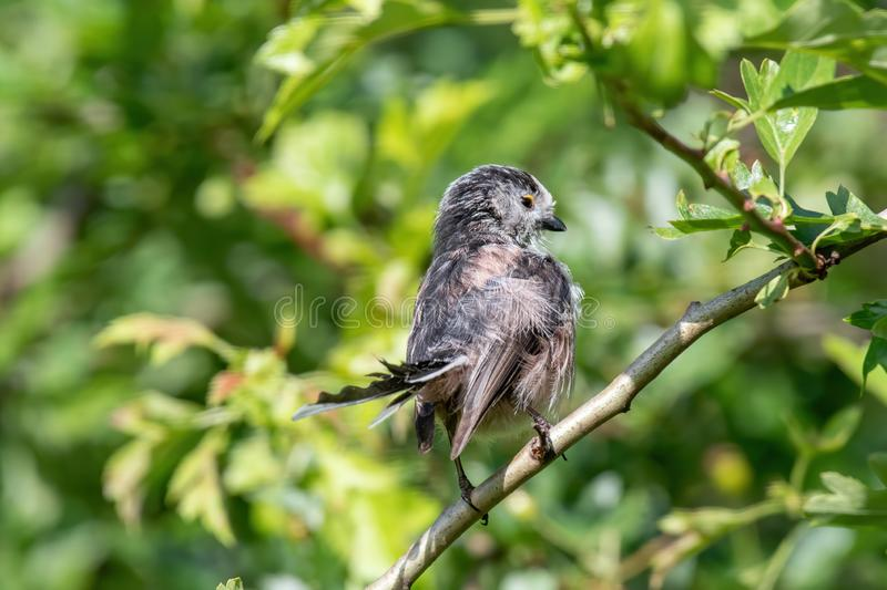 Long-tailed tit Aegithalos caudatus sits on a branch in its natural habitat. Long tailed Tit - Aegithalos caudatus sitting on the branch.Wildlife photo stock image