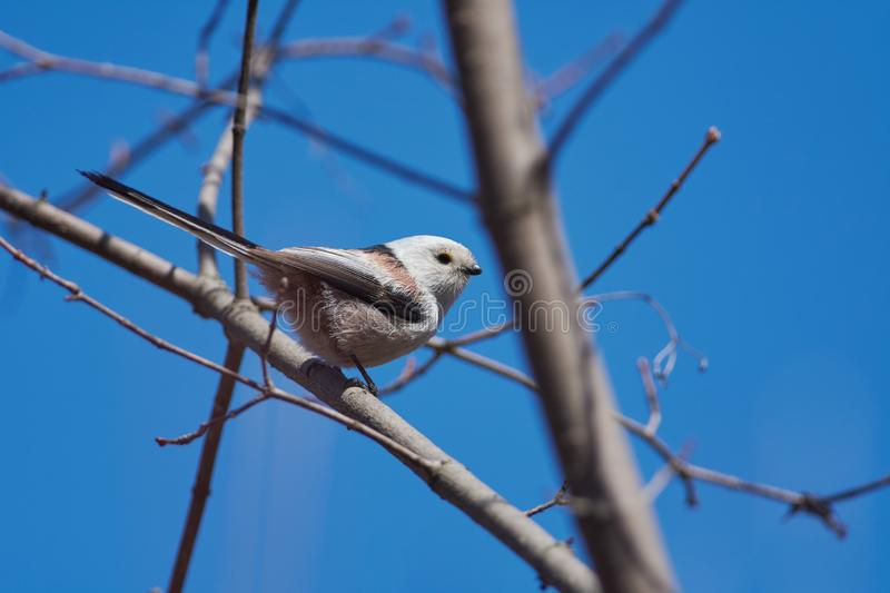 Long-tailed tit sits on a branch in its natural habitat. Long-tailed tit Aegithalos caudatus sits on a branch in its natural habitat royalty free stock images