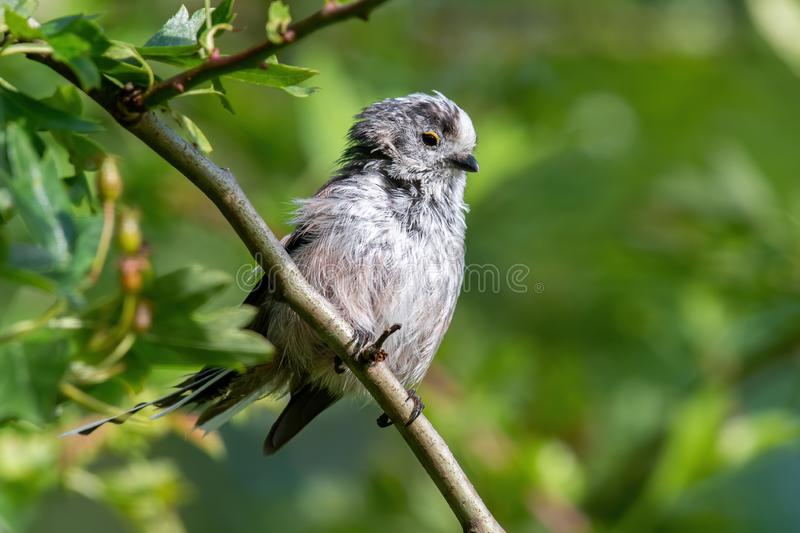 Long-tailed tit Aegithalos caudatus sits on a branch in its natural habitat. Long tailed Tit - Aegithalos caudatus sitting on the branch.Wildlife photo royalty free stock photo