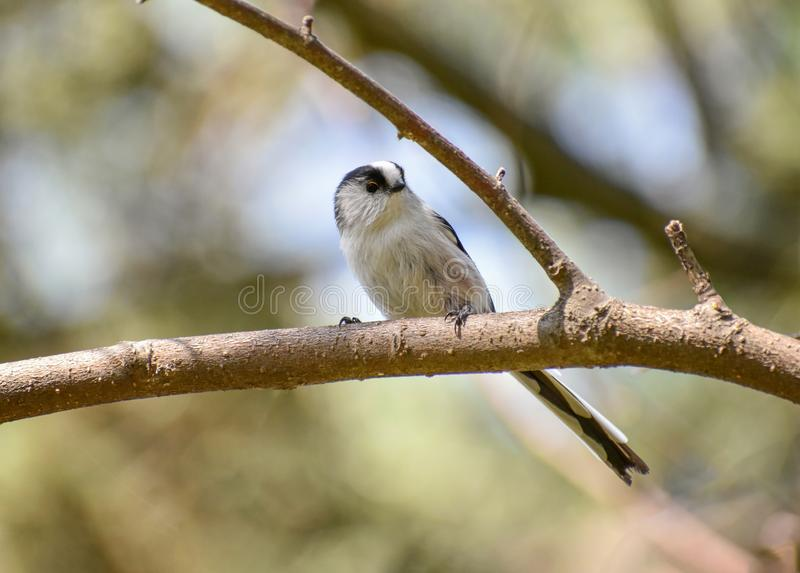 Long-tailed tit Aegithalos caudatus sits on a branch in its na. Long tailed Tit - Aegithalos caudatus sitting on the branch stock photos