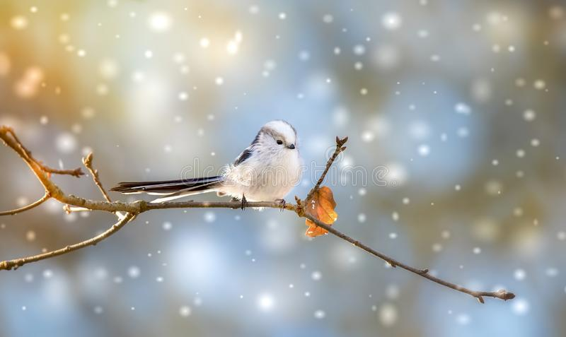 Long-tailed tit aegithalos caudatus sitting on branch of tree. Cute little fluffy bird in wildlife. The best photo stock images