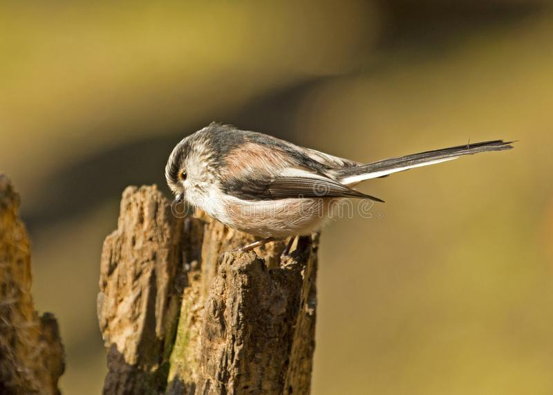 A long tailed  tit bird perched on a tree stump royalty free stock image
