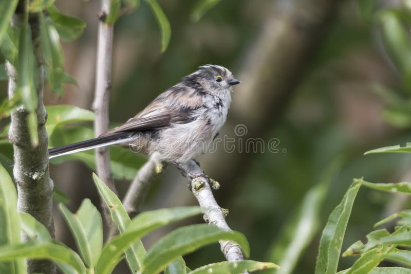 Long tailed tit bird on tree royalty free stock photos