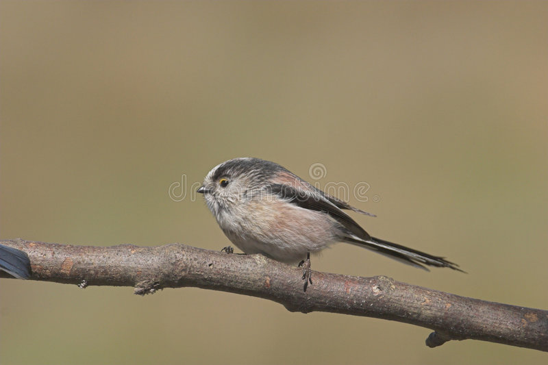 Download Long-tailed Tit on branch stock image. Image of balls, garden - 930859