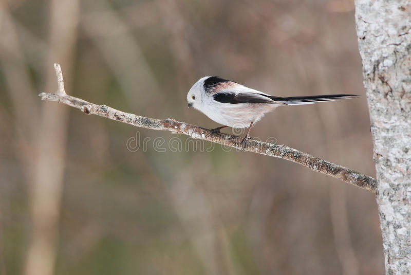 Long-tailed tit. Adorable long-tailed tit on a branch royalty free stock images