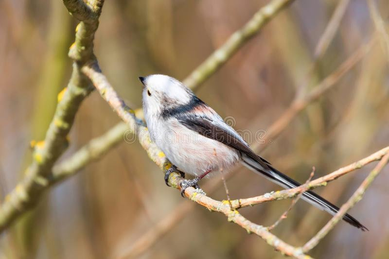 Long-tailed tit on branch Aegithalos caudatus Cute little Bird stock images