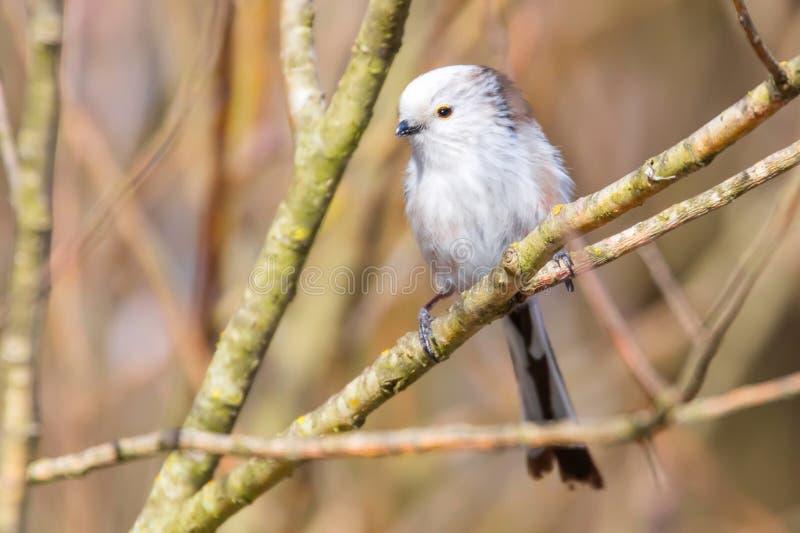 Long-tailed tit on branch Aegithalos caudatus Cute little Bird royalty free stock photo