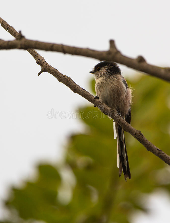Download Long-tailed Tit On A Branch Stock Image - Image of colour, tailed: 33884405