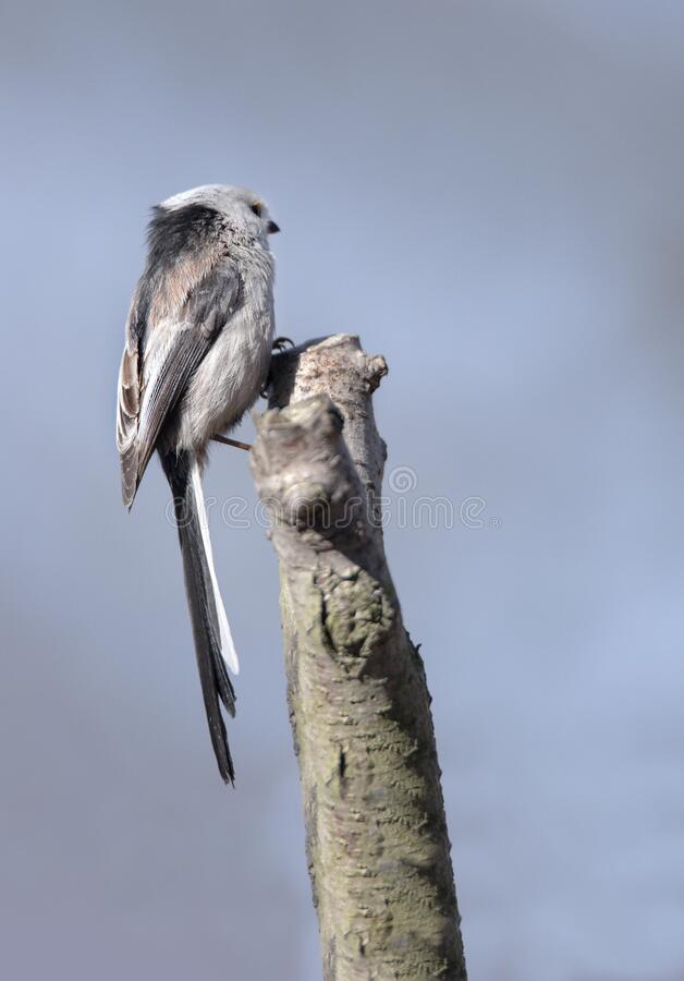 Long-tailed tit on a branch stock image