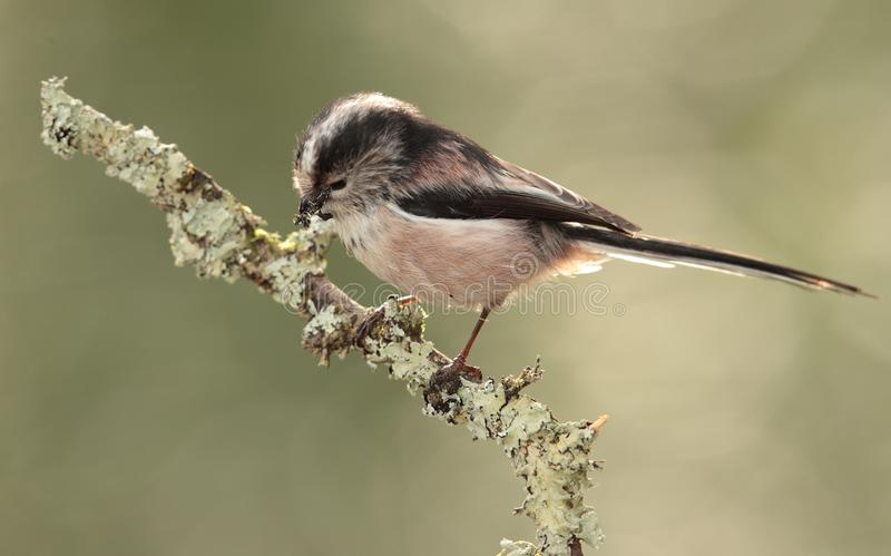 Long tailed tit on branch. A close up of a long tailed tit pecking at lichen on a branch royalty free stock photo