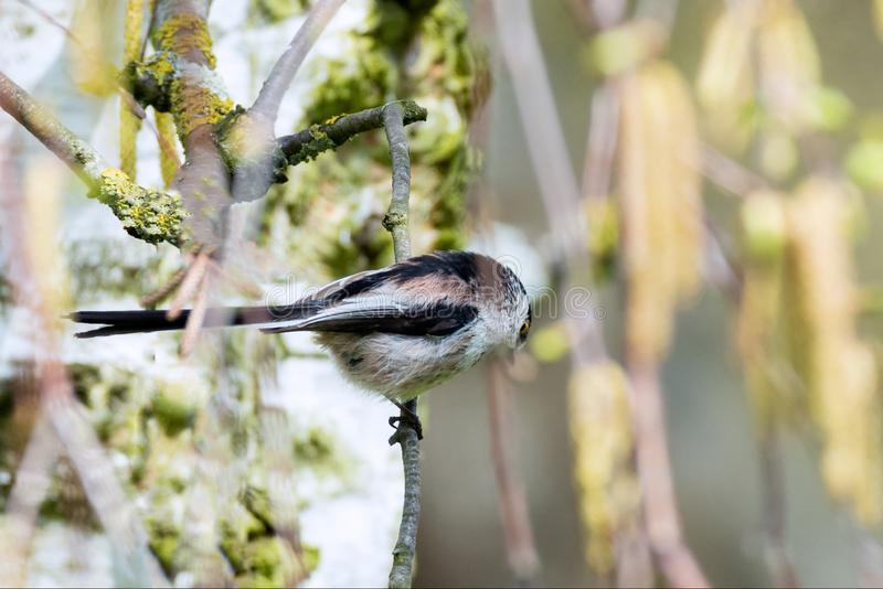 Long-tailed tit hidden in the branches. The long-tailed tit or long-tailed bushtit Aegithalos caudatus, occasionally referred to as the silver-throated tit or royalty free stock image