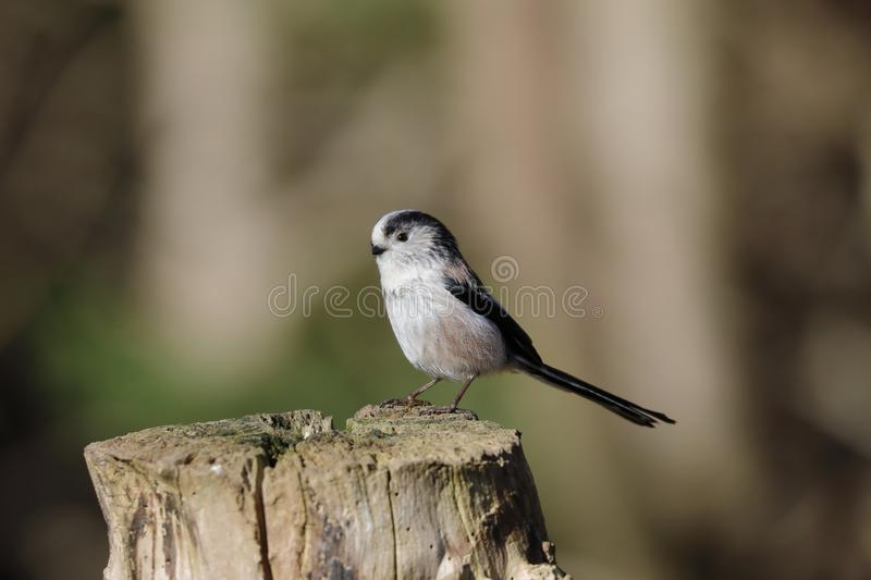 The long-tailed tit or long-tailed bushtit. Occasionally referred to as the silver-throated tit or silver-throated dasher, is a common bird found throughout royalty free stock image