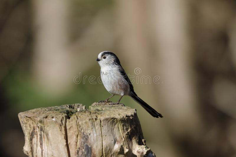 The long-tailed tit or long-tailed bushtit. Occasionally referred to as the silver-throated tit or silver-throated dasher, is a common bird found throughout stock photos