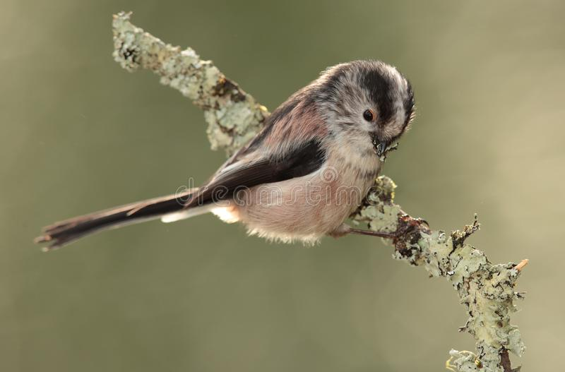 Long tailed tit collecting nest material. A long-tailed tit on a branch collecting lichen for a nest royalty free stock image