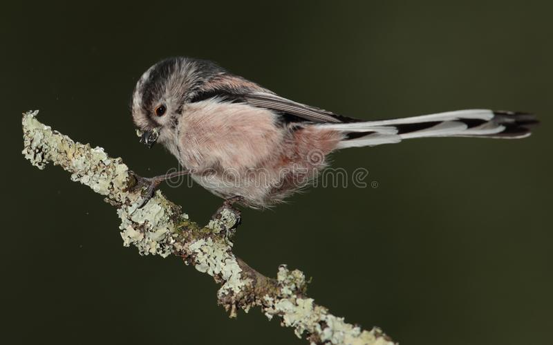 Long tailed tit collecting lichen for nest. A long-tailed tit gathering some lichen for a nest royalty free stock photos