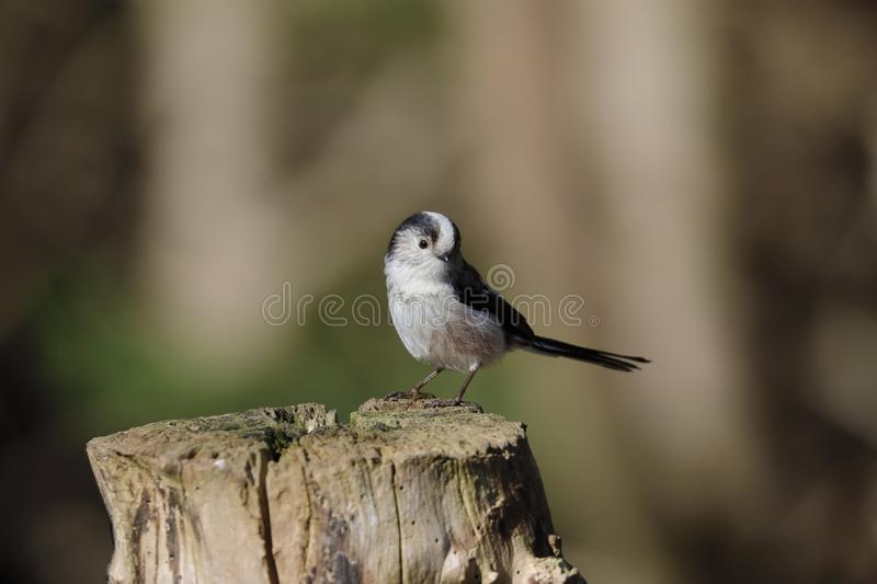 The long-tailed tit or long-tailed bushtit. Occasionally referred to as the silver-throated tit or silver-throated dasher, is a common bird found throughout stock images