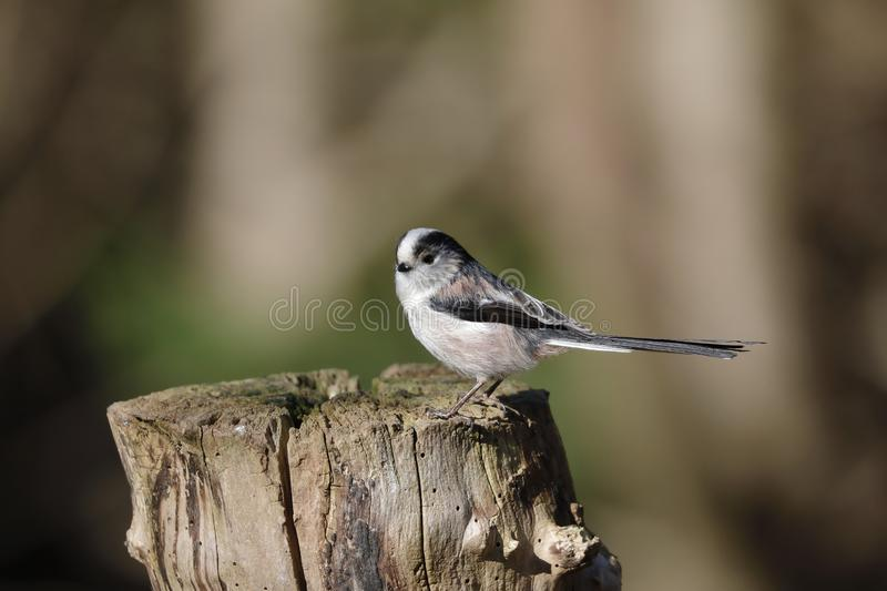 The long-tailed tit or long-tailed bushtit. Occasionally referred to as the silver-throated tit or silver-throated dasher, is a common bird found throughout royalty free stock images