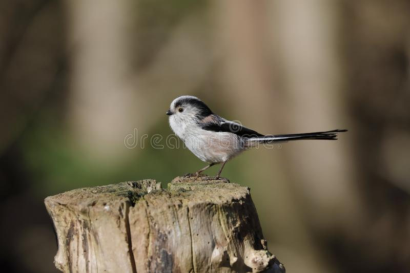The long-tailed tit or long-tailed bushtit. Occasionally referred to as the silver-throated tit or silver-throated dasher, is a common bird found throughout royalty free stock photography