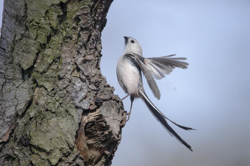 Long-tailed tit stock photography
