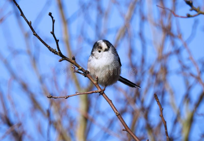 Long Tailed Tit / Aegithalos Caudatus Looking Cutely at the Photographer. A long tailed tit perched on a bare twig in a bush against a blue sky stock photo