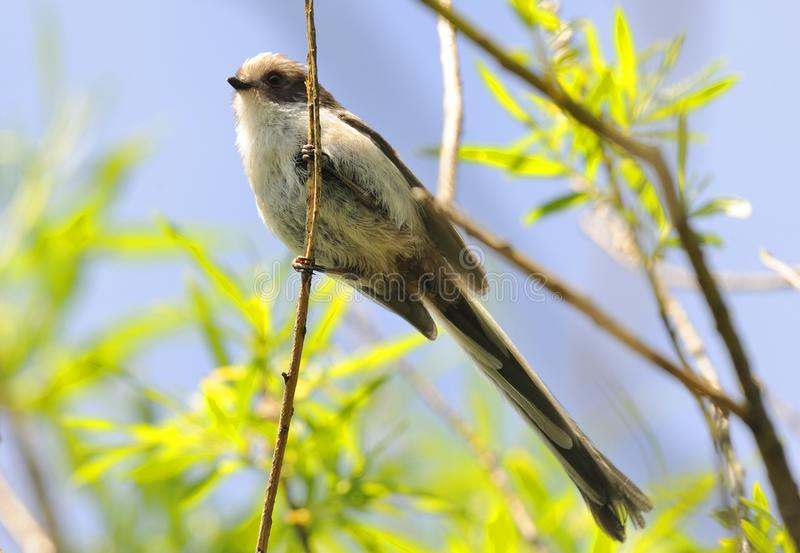 Long-tailed Tit Perched on Branch of Scrub Tree royalty free stock photo