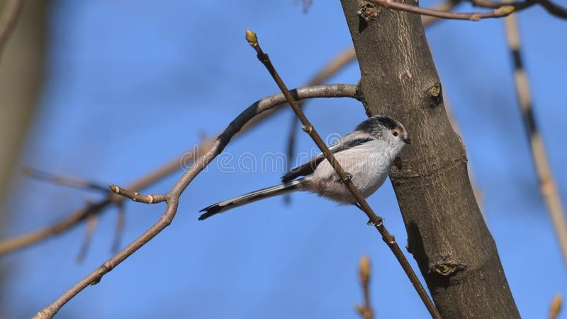 Long-tailed tit placed on the branch of the tree stock photography