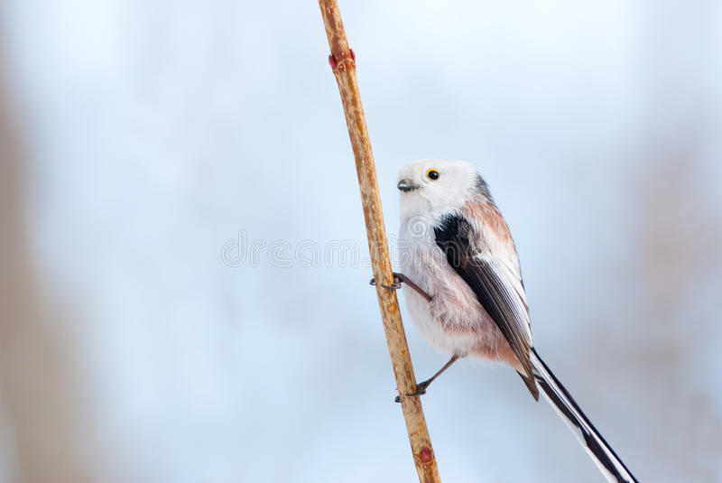 Long-tailed tit portrait. Cute long-tailed tit on a straw stock photography