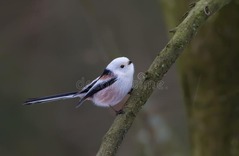 Long-tailed Tit posing on a little black branch. Long-tailed Tit posing in a small black branch in winter stock photography