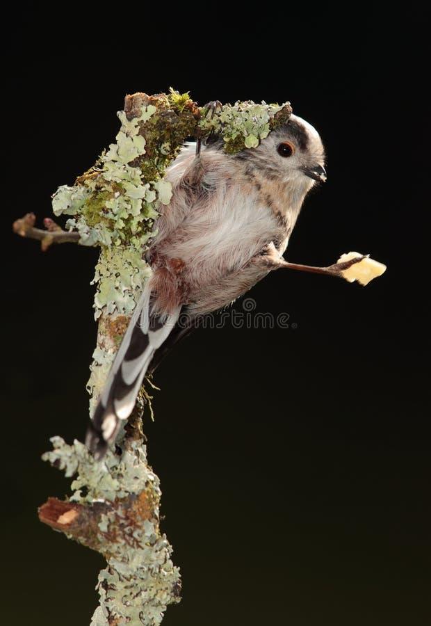 Long-tailed tit stock photos