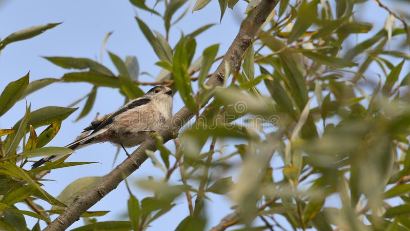Long-tailed titmouse hidden among the branches of the tree stock image