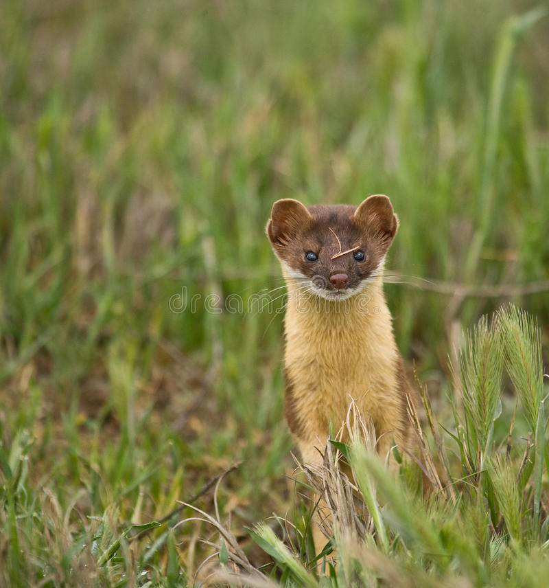 Long-tailed Weasel #1 stock image