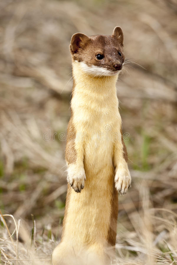 Free Long Tailed Weasel. Stock Photos - 30806753