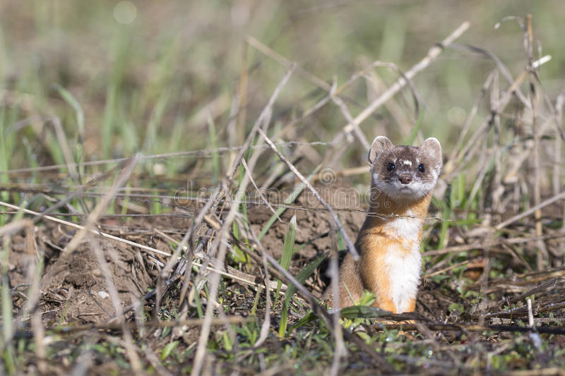 Long-tailed weasel on grass in early spring stock photos