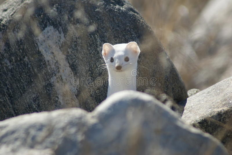 Long-tailed weasel in winter coat. Small long-tailed weasel in white winter coat found at Farmington Bay in Davis County, Utah royalty free stock images
