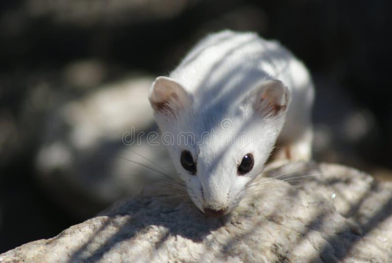 Long-tailed weasel in winter coat. Small long-tailed weasel in white winter coat found in the wild at Farmington Bay, Davis County, Utah stock photography