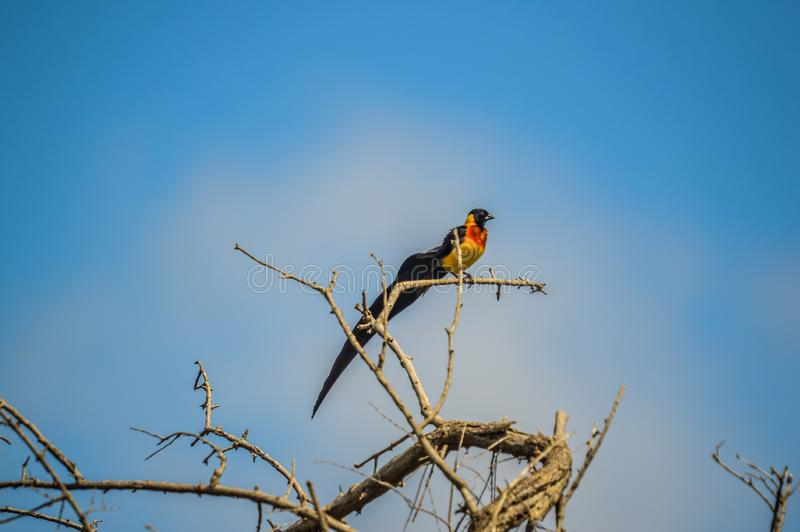 Long tailed widow bird perched on a tree in a game reserve in South Africa. Long tailed widow bird perched on a tree in a nature reserve in South Africa royalty free stock photos