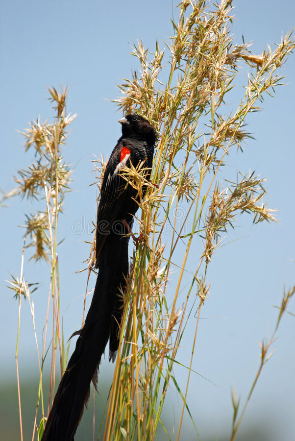 Long Tailed Widowbird. Image of a long tailed widowbird on grass royalty free stock images