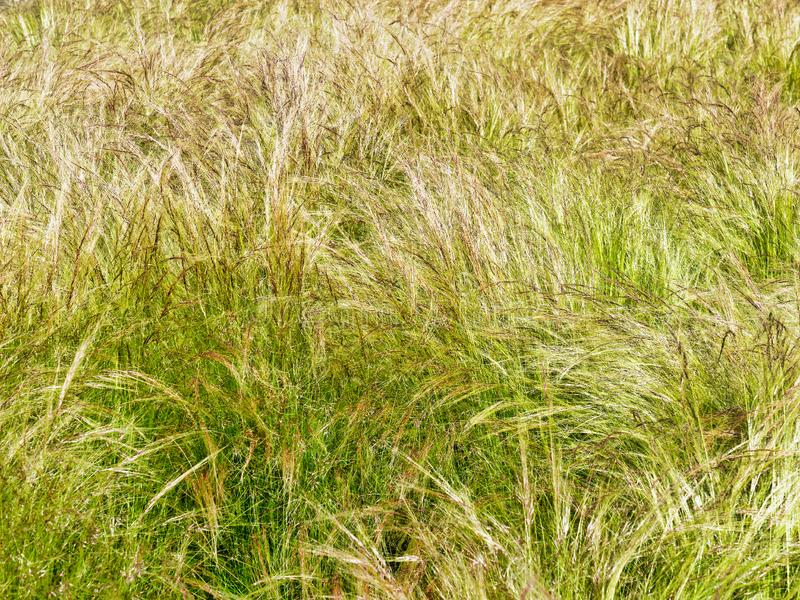Long Thin Grass Blowing in the Wind royalty free stock photo