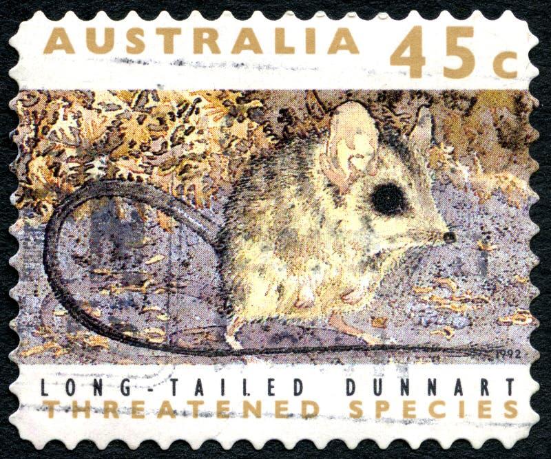 Long timbre-poste australien coupé la queue de Dunnart images stock