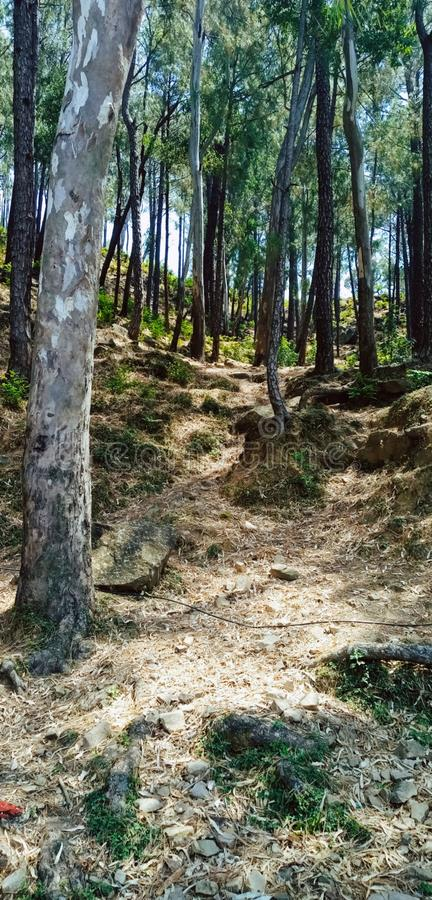 Long trees in the jungle. Very long pine trees and other trees image clicked in India. Trees of tree mountain stock photos