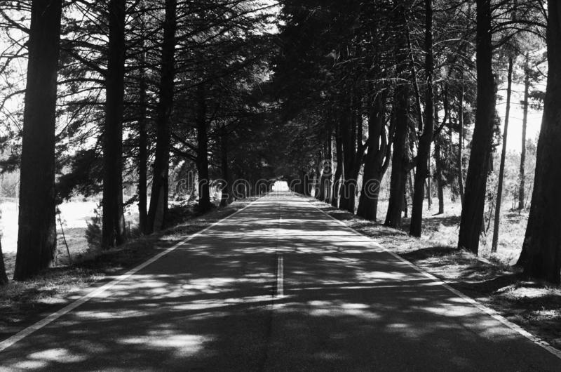Long way to the essence of the family. Landscape to black and white wall paper of a straight road with a forest tree that looked like pine trees this straight stock images