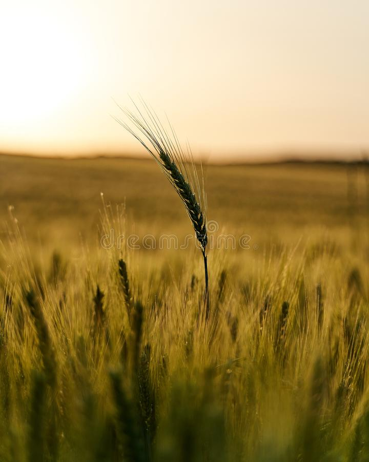 Long wheat standing above the rest looking towards the shiny future royalty free stock photo