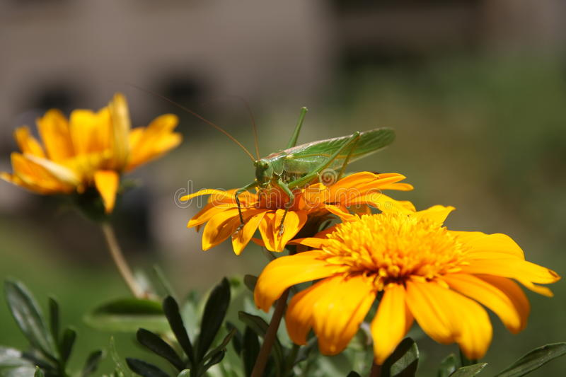 Long-winged Conehead (Conocephalus Discolor) stock photography